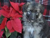 Beautiful Female German Shepherd Puppies. Excellent