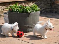 Beautiful westie boy ready to go pup has been wormed