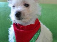 WESTIE, MALE, AKC, $400; BORN 3-31-15; FIRST PUPPY SHOT