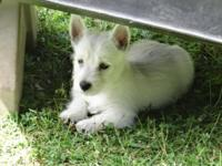 Westie puppies, 8 weeks, AKC registered, First shots,