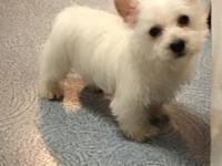Rescue West Highland Terrier Puppies - Goldenacresdogs com