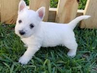 Sweet little West Highland White Terrier puppies in for