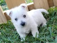 West Highland White Terrier puppies available.. Our
