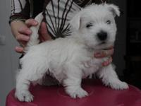 Our Westie puppies are well trained but if you have