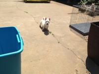 Westies pups, male and females, 3 month old litter and