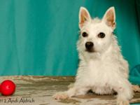 West Highland White Terrier Westie - Alice - Small -