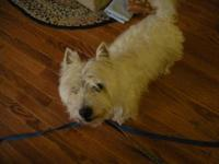 West Highland White Terrier Westie - Angus - Small -