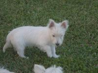West Highland White Terrier Westie - Beemer - Small -