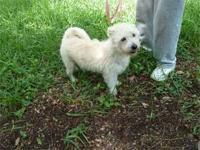 West Highland White Terrier Westie - Boots Barkley -