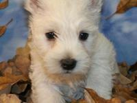 WESTIE PUPPIES FOR SALE MALES AND FEMALES DATE OF BIRTH