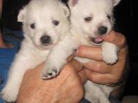 Here are 3 Beautiful 3/4 Westie Puppies Available,