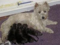 West Highland White Terrier Westie - Sassy's Puppies -
