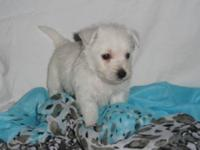 West Highland White Terrier Westie - Toby - Small -