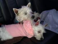 West highland white terrier puppies!!!!! Westies AKC