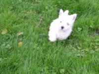 Registered westies. I have one little boy And One