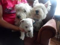 I breed really great Westie Pups. I do my very best to