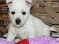We have available males and females Westie puppies,