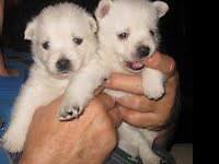 Here are 2 Beautiful 3/4 Westie Puppies Available,