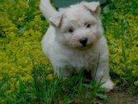 Adorable Westie/Maltese female puppy ready for her new