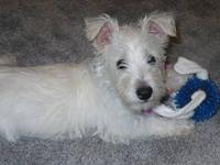 I have couple hybrid westie/maltese puppies ready to go