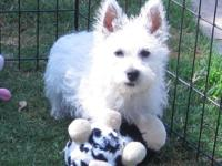 3 month old West Highland White terrier puppies. Puppy
