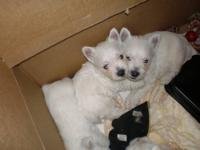 WESTIE PUPPIES GREAT FAMILY PETS ! Westie puppies are
