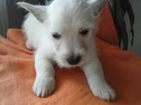2 Handsome male westie puppies are now ready for their
