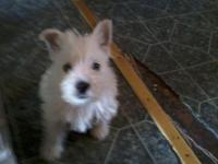 I am expecting a litter of westies in next couple