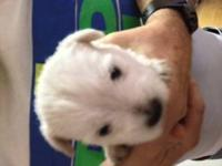 CUTE WESTIE PUPPIES FOR SALE HAVE CKC PAPERS, COME WITH
