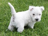 WESTIE PUPPIES MALES AND FEMALE VACCINATIONS AND