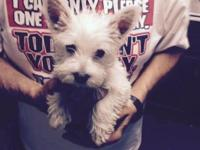 2 MALE Westie Puppies CKC REG comes DEWORMED with First