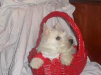 Westie puppies, Adorable, Males, 12 weeks, UTD on