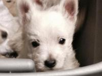 Westie are smart , loving, loyal , playful and your