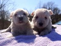 WE HAVE 2 MALE WESTIE PUPPIES THAT ARE READY TO FIND