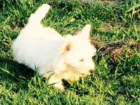 """WESTIES"" AKC West Highland White Terriers Westies"