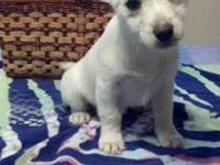 Super cute female Westy mix puppies. They are 3/4 Westy