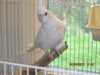 I have Cockatiels, which are white face Silver and all