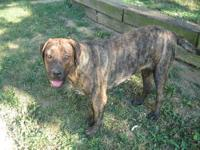 I have a old englist mastiff that I would like to breed