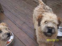 HOUSE reproduced SOFT coated wheaten terrier young