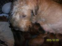Soft Coated Wheaten Terriers--NO shed NO allergies.