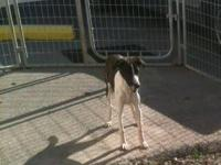 Whippet - Liberty - Medium - Young - Male - Dog Liberty