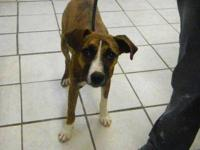 Whippet - Lucky - Large - Young - Male - Dog To find