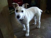 Whippet - Mizzy - Small - Adult - Female - Dog URGENT: