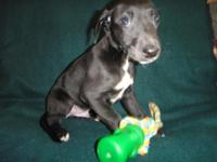 Aslin AKC reg handsome friendly sweet little solid