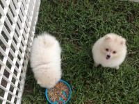 White Pomeranians with AKC Pedigree Papers (American