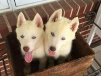We have 2 white Siberian Husky females that prepare to