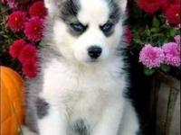 I have 12 weeks old male and female Siberian Husky. She