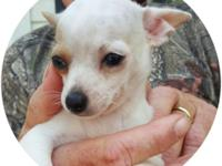 Beautiful and very sweet male Chihuahua puppy. White