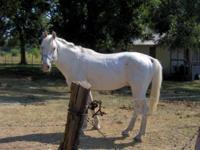 Description WHITE APPALOOSA STALLION, RIDES, GENTLE,