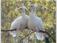 White peachicks (baby peacocks) for sale. Age: 2 to 4